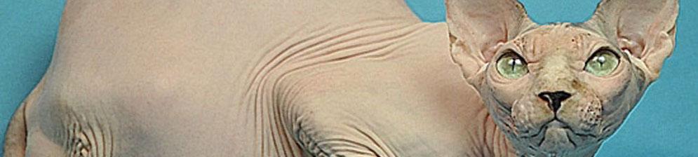 Беременная кошка породы Сфинкс