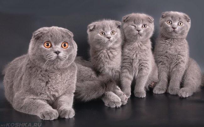 Шотландская вислоухая кошка и её котята