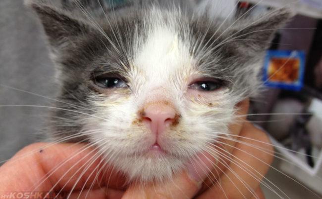Симптомы герпеса и панлейкопении у кошки