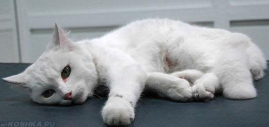 Слабость у больной панлейкопенией кошки
