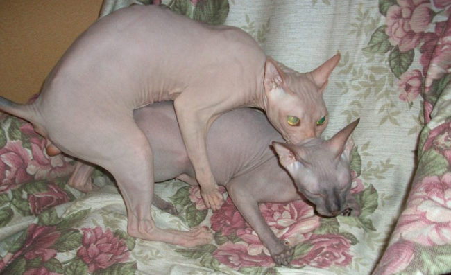 Спаривание двух особей породы Сфинкс