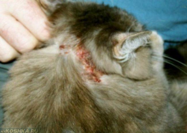 Поврежденная кожа у кошки за ухом вблизи