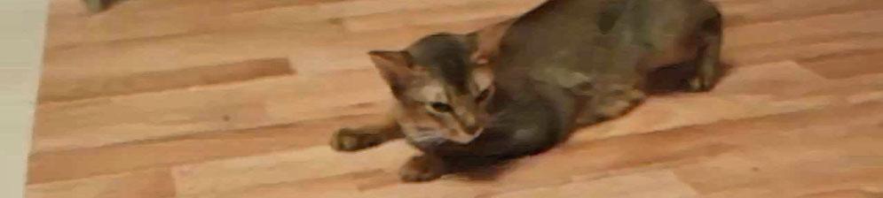 Течка у Абиссинской кошки
