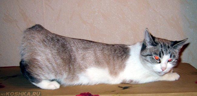 Поза кошки во время течки
