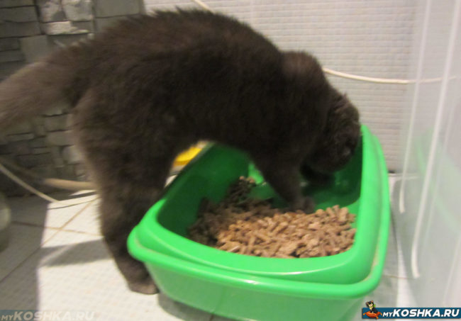 Туалетный лоток и британская кошка