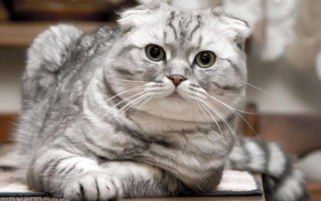 Упитанная кошка британской породы окрас Вискас