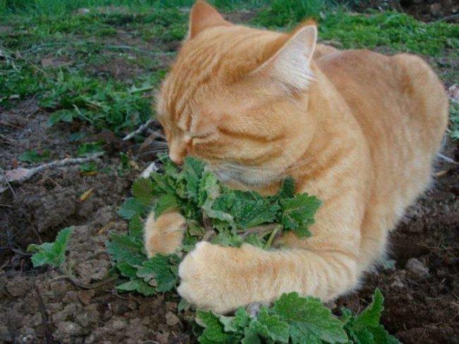Кошка нюхает траву весной