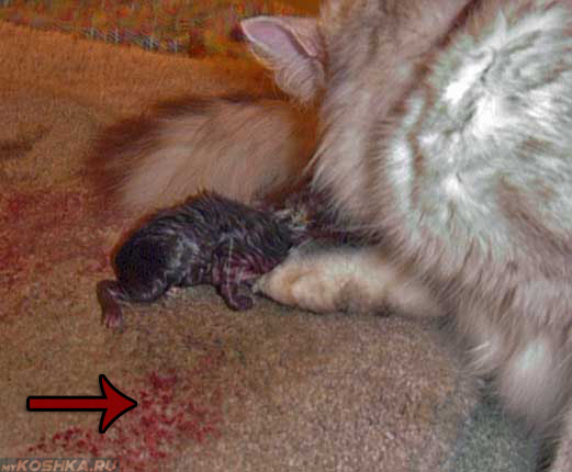 Кровавые выделения у кошки при родах