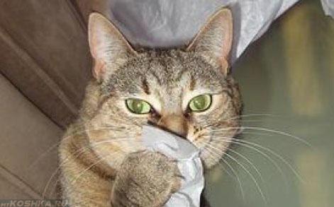 Вытирание соплей кошкой при помощи салфетки