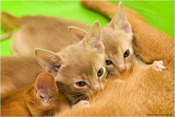 Котята с разных выводков у кошки