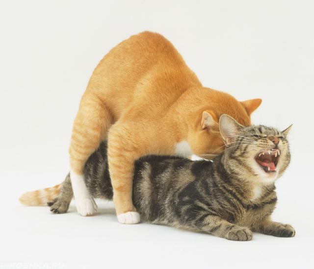 Вязка рыжего кота и кошки