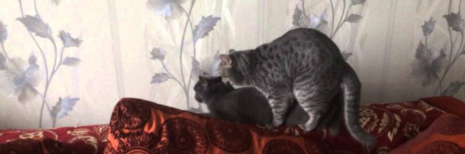 Кот бегает за кошкой