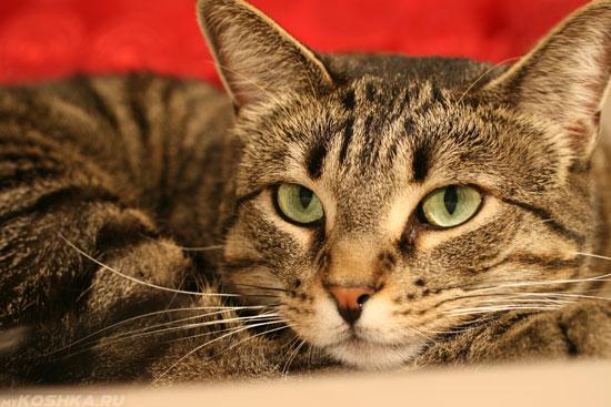 Взрослый кастрированный кот