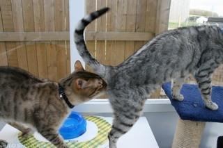Кот нюхает кошку