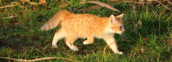 Рыженькая молодая репродуктивная кошка