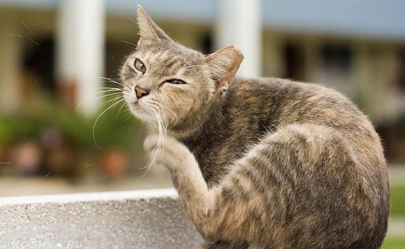 Как лечить аллергический дерматит у кошек в домашних условиях фото