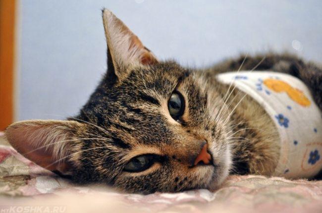 Вялая кошка лежит после стерилизации в попоне