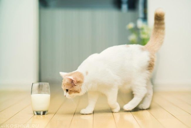 Белый кот подходит к стакану с молоком