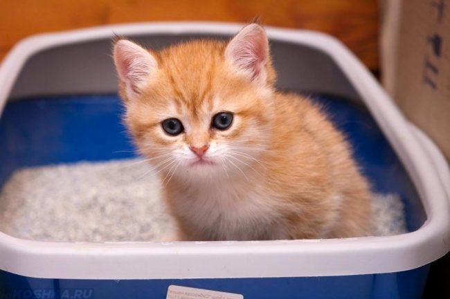 Маленький рыжий кот на лотке страдает от поноса