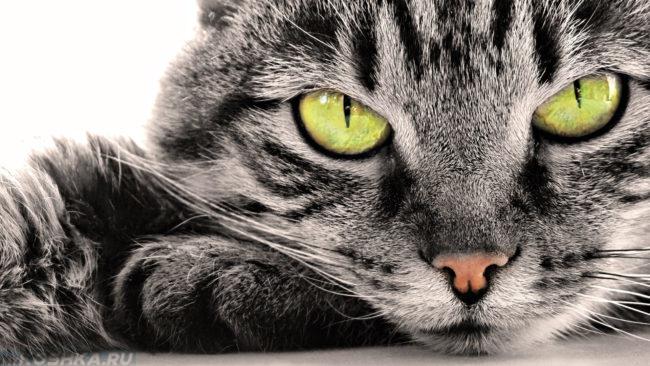 Серо-белая кошка с зелеными глазами в возрасте 8 месяцев