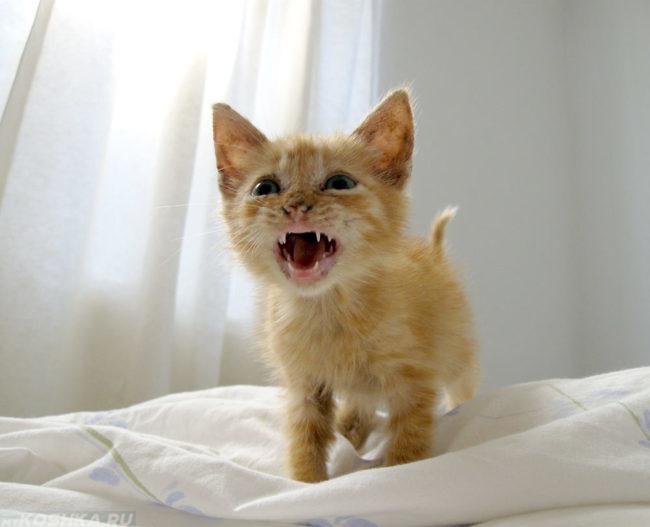 Маленький рыжик кот мяукает на кровати