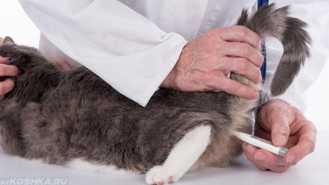 Врач измеряет температуру тела у кошки с помощью градусника
