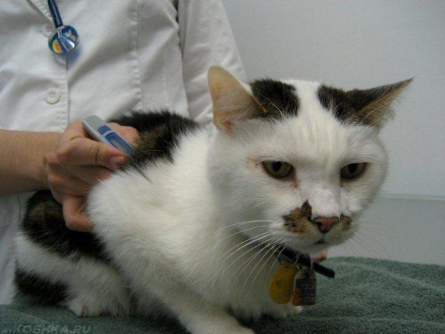 Ветеринар измеряет температуру двухцветному коту
