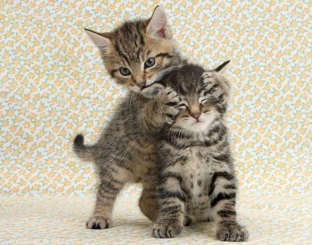 Один котенок закрывает лапами глаза второго котенка