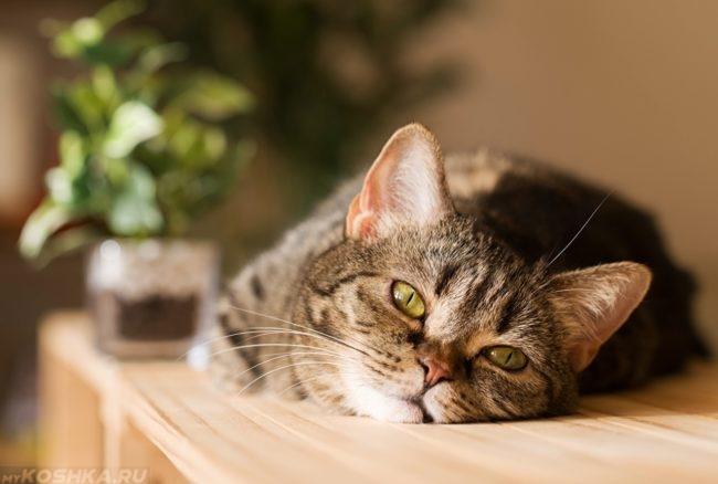 Кошка вяло лежит на столе из-за повышенной температуры