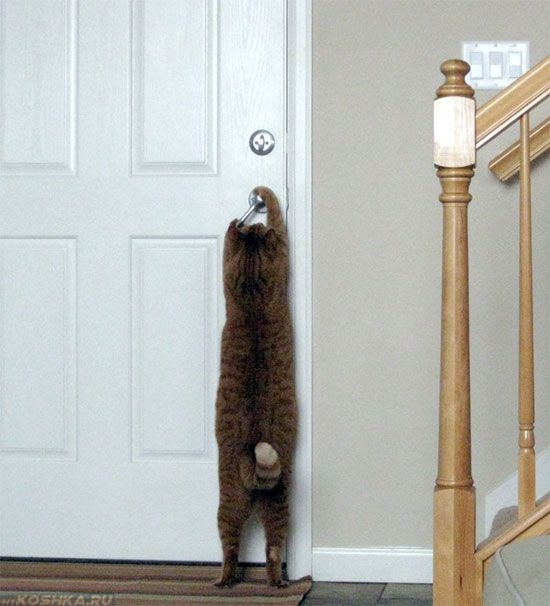 Кот пытается открыть дверь