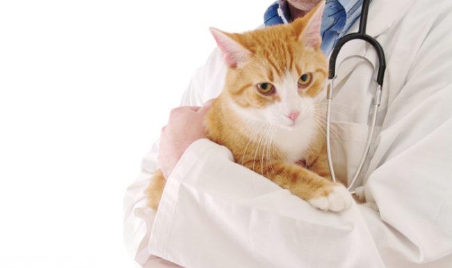Рыжий кот на руках у ветеринара