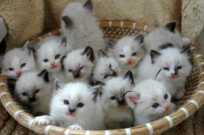 Корзинка со множеством белых котят