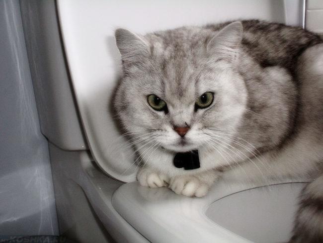 Сердитый серый кот лежит на унитазе