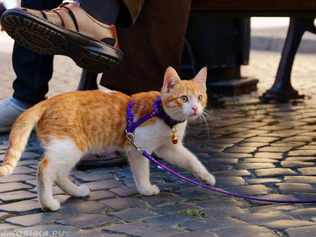 Рыжая кошка гуляет на поводке по улице