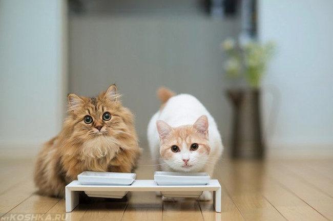 Котёнок и кот сидят возле белых мисок