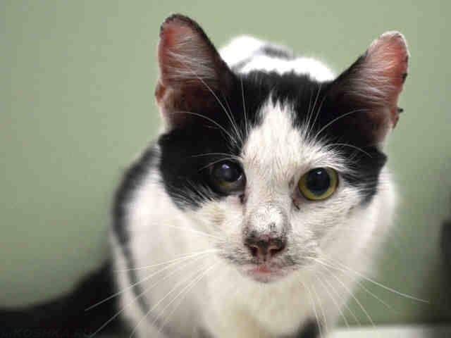 У кошки из-за ринотрахеита поражены глазные яблоки