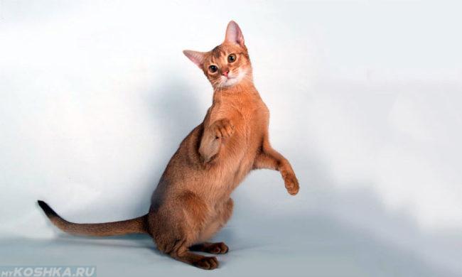 Абиссинская кошка стоит на задних лапах