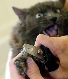 Агрессивная кошка при подстригании когтей