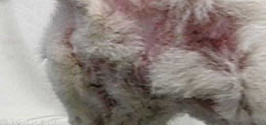Сильный зуд на аллергию у белой кошки