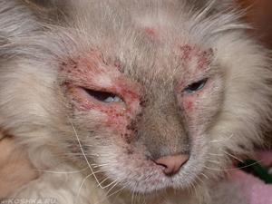 Кожный зуд на морде у кошки
