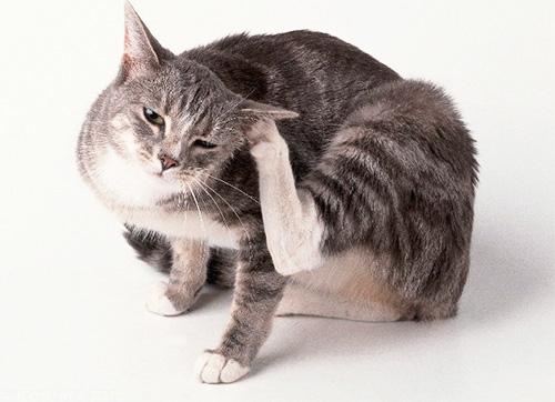 Блохи у серой кошки