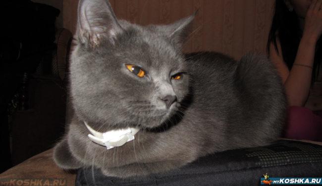 Британская кошка в 8 месяцев