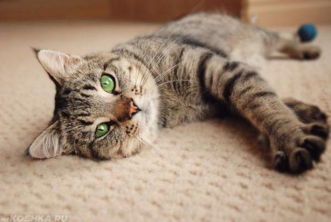 Кошка с зелеными глазами лежит на полу