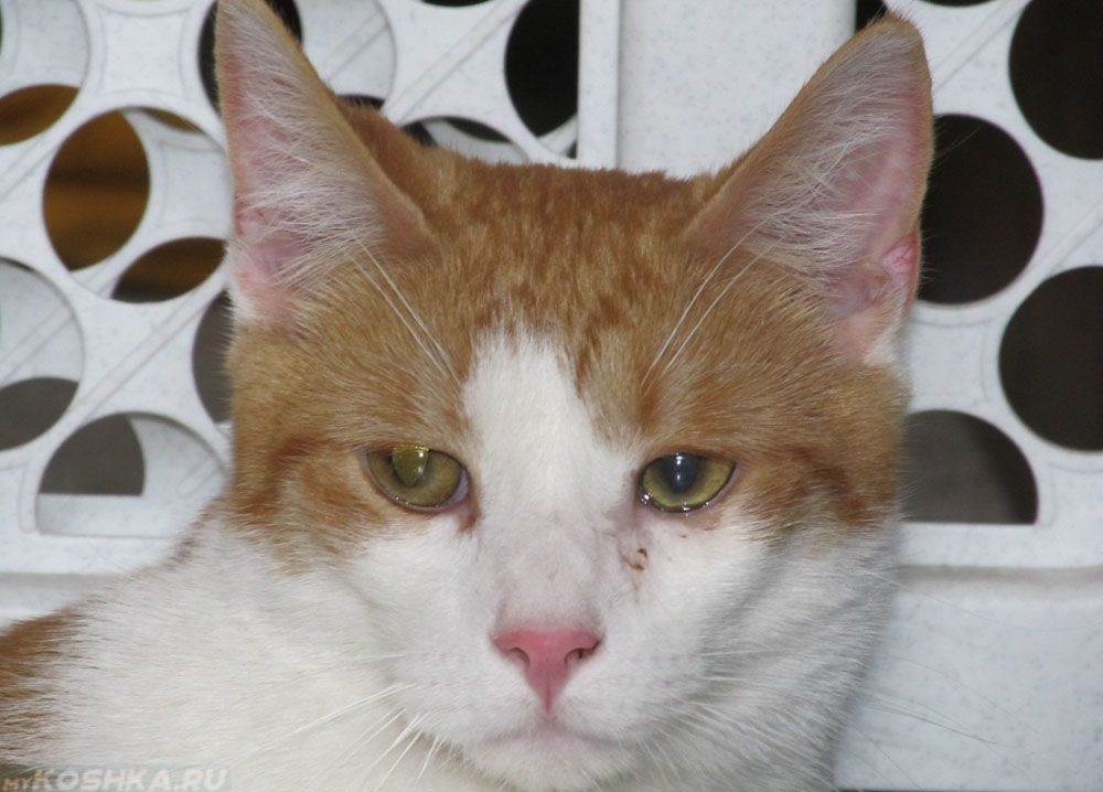 Слезится один глаз у кошки лечение в домашних условиях