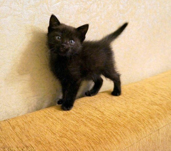 Черный котенок стоит на желтой спинке дивана