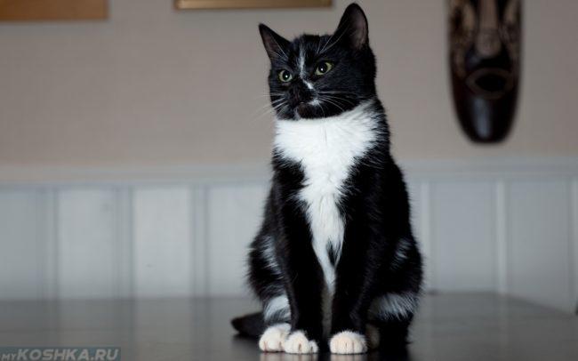 Черно-белая кошка выполняет команду сидеть