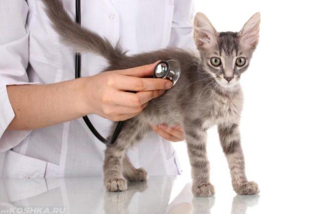 Серый котёнок на обследовании у ветеринара