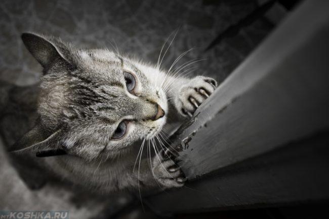 Серый кот дерет деревянный дверной косяк
