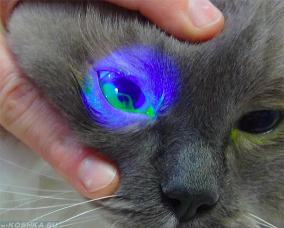 Осмотр кошки на конъюнктивит у ветеринара