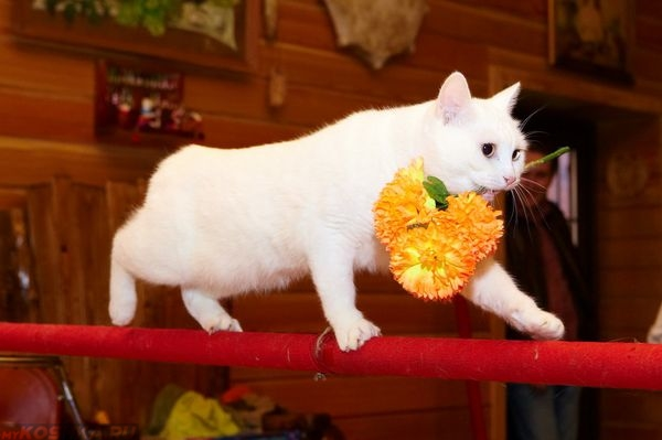 Дрессированная белая кошка несёт цветок во рту